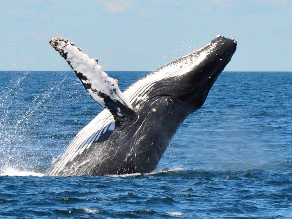 Whale Breaching